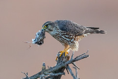 Merlin with Sparrow for breakfast (X9B_7729-1)