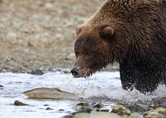 Fast Food, Katmai National Park — Join Me in AK!