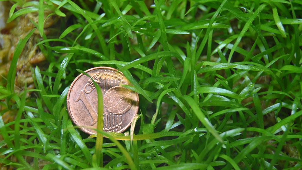Vriesea splendens seedling