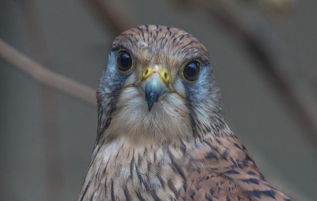 Vörös vércse (Falco tinnunculus)