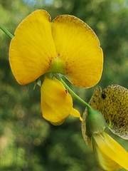 Bigpod Sesbania Flower
