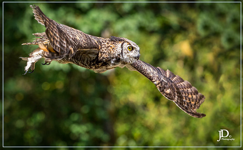 Great horned owl in flight-1