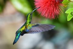 Green-throated Carib in St. Croix