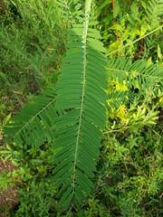 Bigpod Sesbania Leaf
