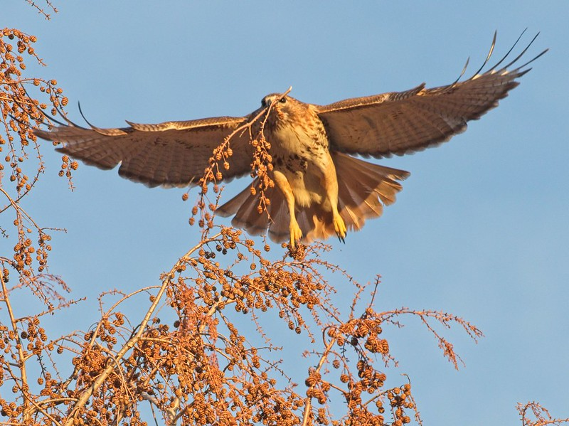 Red-tailed hawk Christo collecting redwood pods