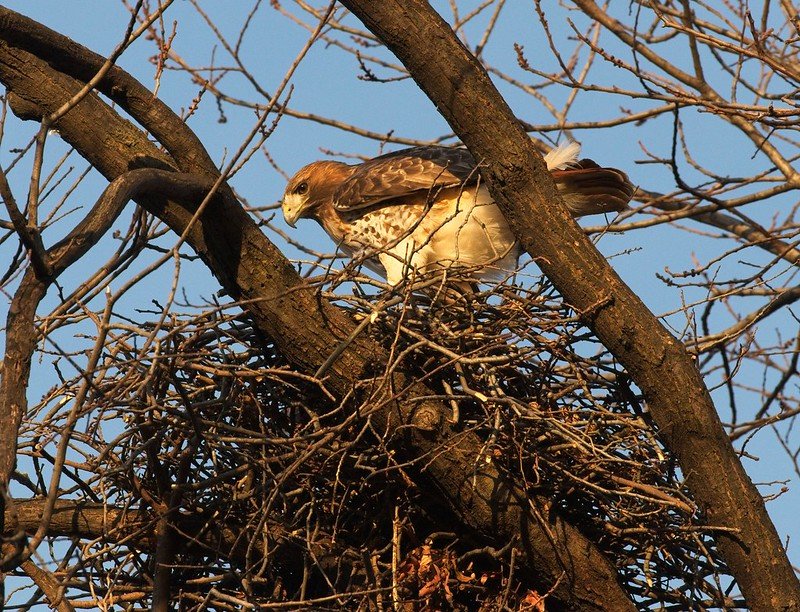 Red-tailed hawk Amelia doing nest-work