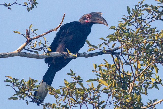 Black Hornbill - female