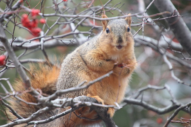 Fox Squirrels on a Cold Winter's Day in Ann Arbor at the University of Michigan - January 28th, 2020