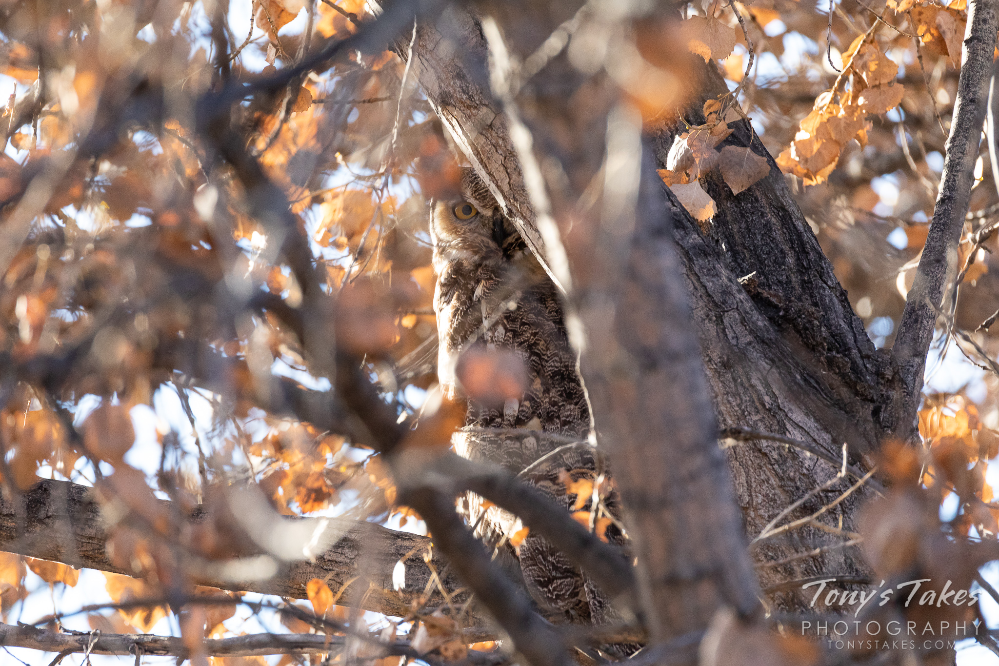 A great horned owl is well-concealed and keeping close watch. (© Tony's Takes)