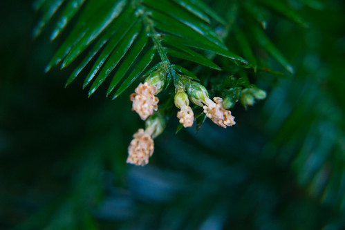 Yew flowers, mid-January