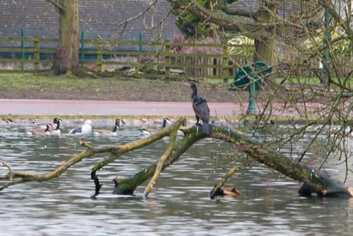 Young cormorant, West Park