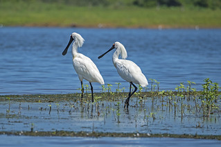 Royal Spoonbill (2) | by bidkev1 and son (see profile)