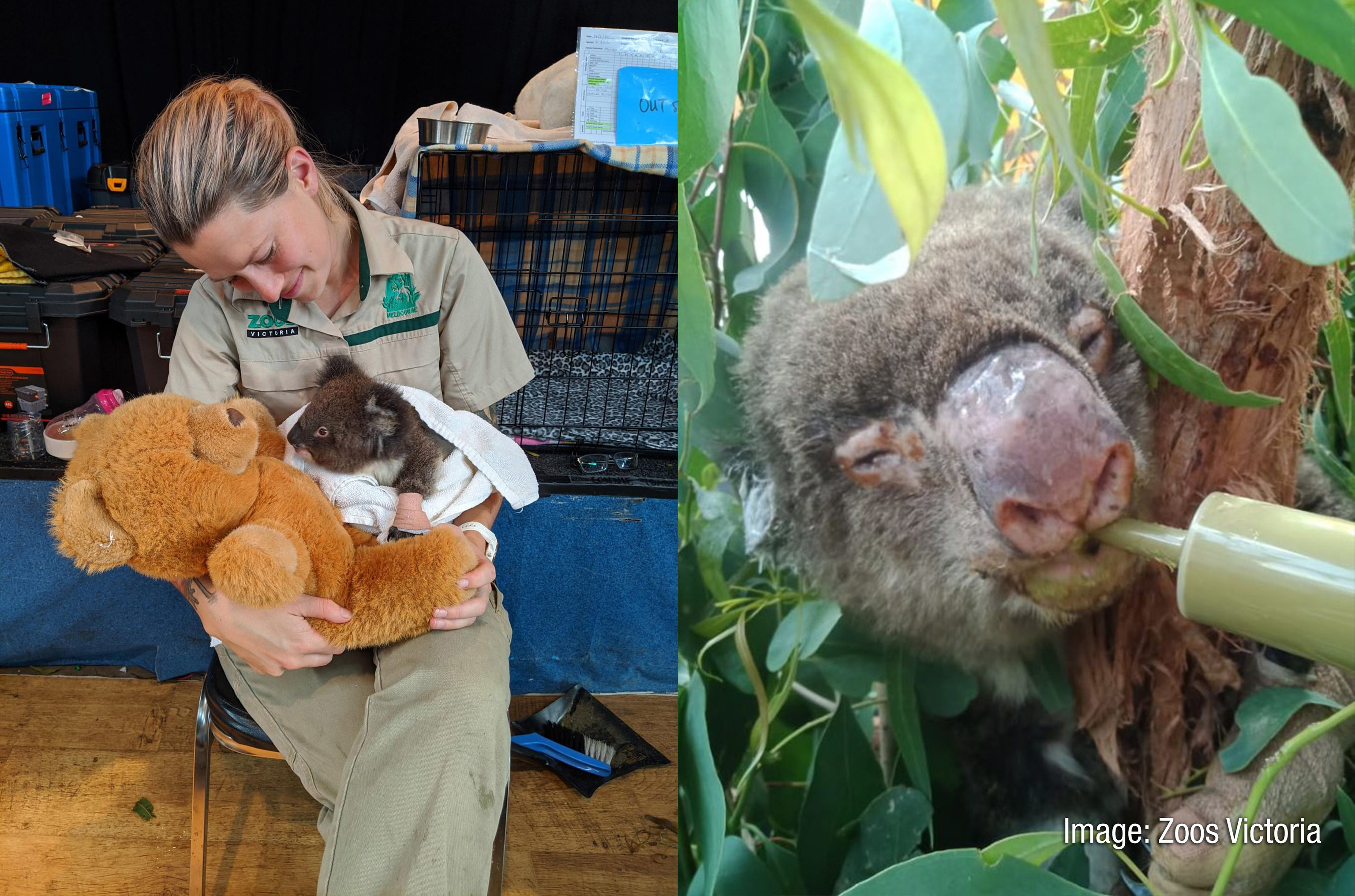 Koalas being cared for by Zoos Victoria