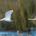 Mute Swan ( Cygnus olor )