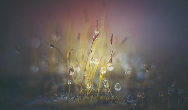 Moss dewdrops