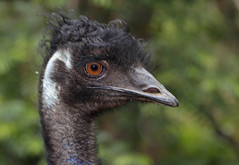 Emu Portrait 012