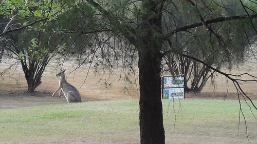 'roos feed on the 7th tee
