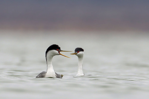 Western Grebe | by Greg Lavaty Photography