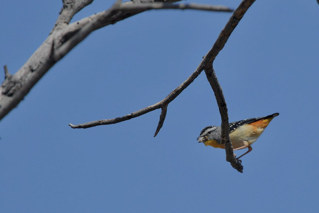 Spotted Pardalote ( feeding time )