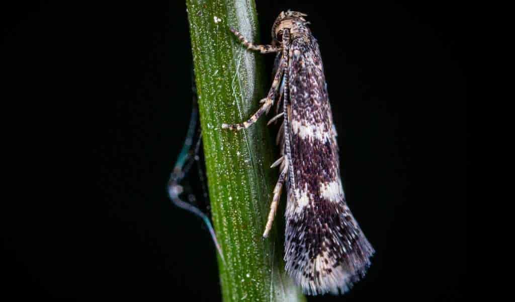 des-papillons-de-nuit-mâles-génétiquement-modifiés-pour-tuer-les-femmelles-ont-été-relâchées