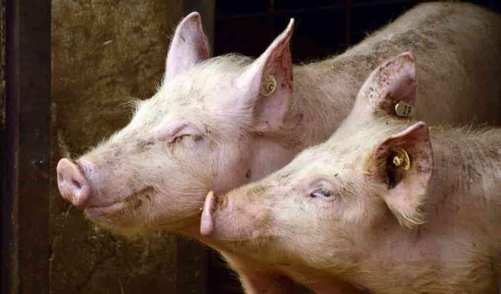 des-gènes-humains-ajoutés-à-des-porcs-pour-créer-de-la-peau