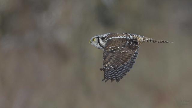 Northern Hawk Owl 1444