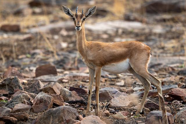 Chinkara in typical habitat