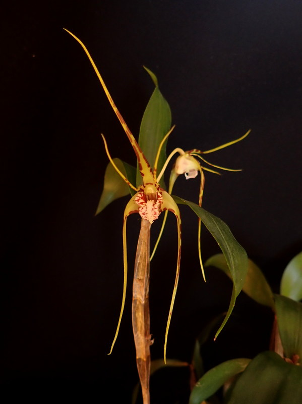 Les Orchidées chez Cloo en 2020 - Page 4 49460189023_feb193565f_c