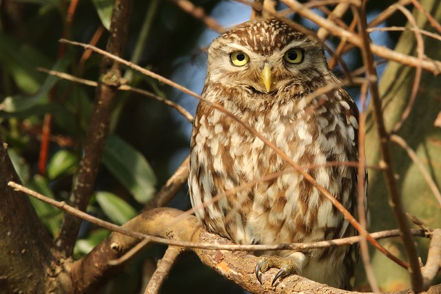 Little Owl  (Athene noctua)  Youngster