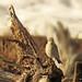 Rock Wren 4551