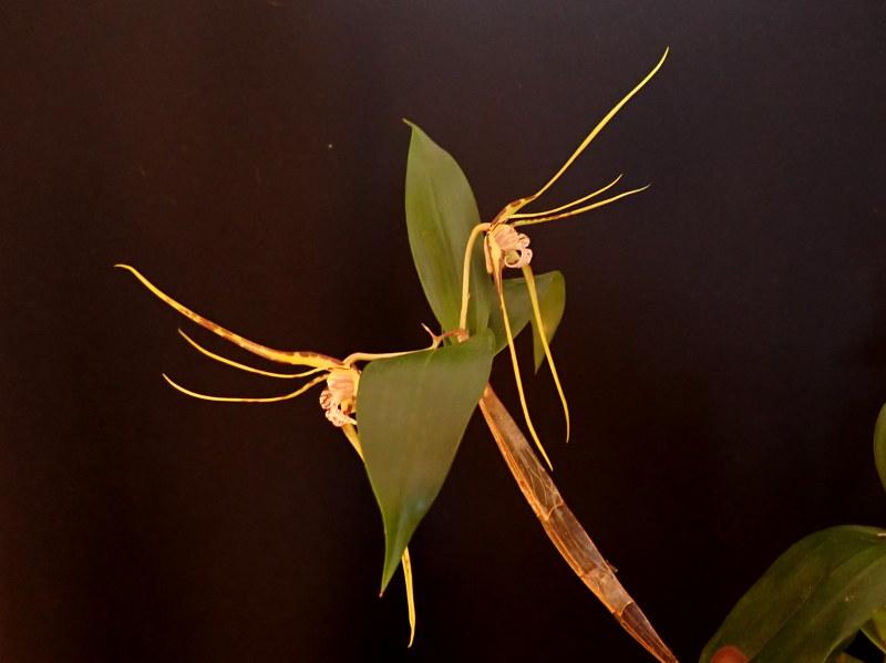 Les Orchidées chez Cloo en 2020 - Page 4 49460665766_fbb51dab13_c