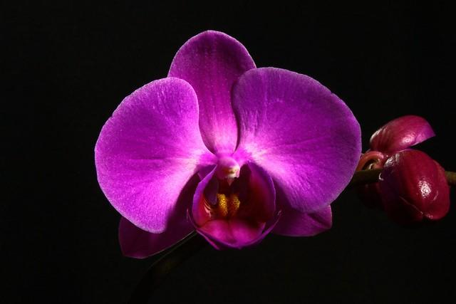 Another Phalaenopsis