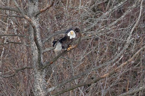 Annoyed eagle (Large)