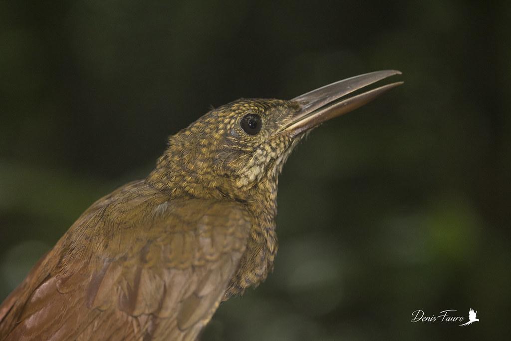 Grimpar barré - Dendrocolaptes certhia - Amazonian Barred-Woodcreeper
