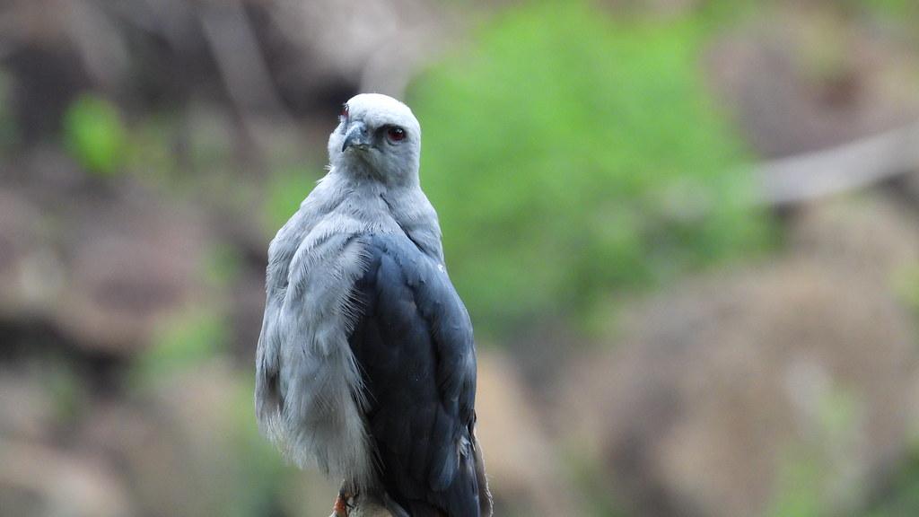Sovi - Plumbeous Kite