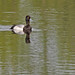 Flickr photo 'Lesser Scaup (Aythya affinis)' by: Mary Keim.