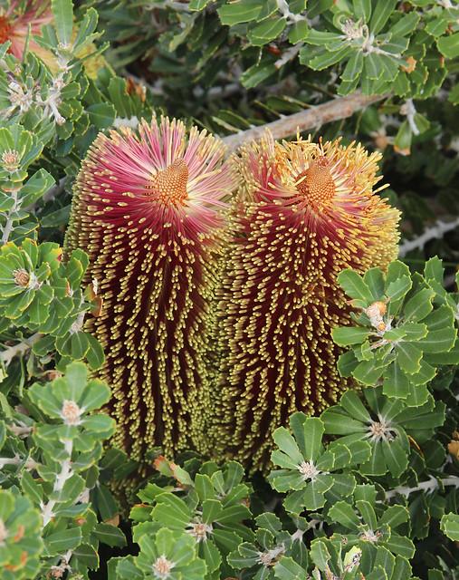 Cut-leaf Banksia