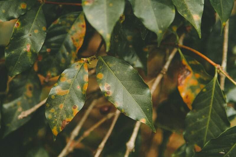 Bệnh gỉ sắt cà phê (Hemileia vastatrix)