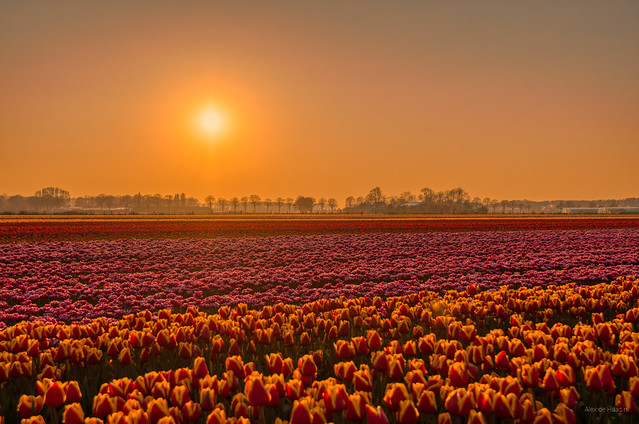 Trillions of Tulips.
