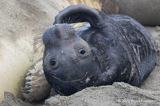 A Newborn Elephant Seal Pup Scratches Chin With Flipper While Upside Down On The Sand