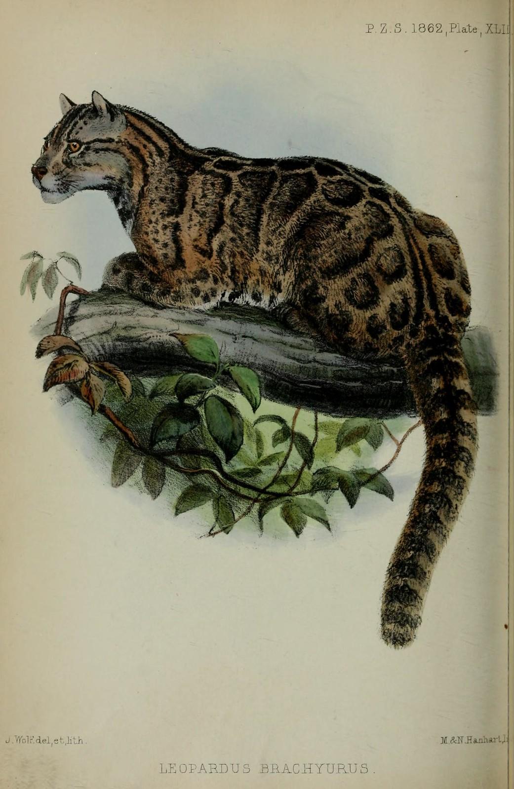 約瑟‧沃爾夫畫筆下的台灣雲豹,讓我們記住這個曾經是台灣住民的物種。圖片來源:台博館提供