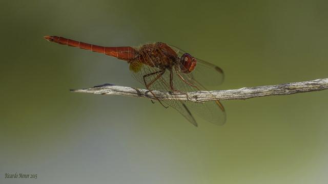 Crocothemis erythraea. Adult male