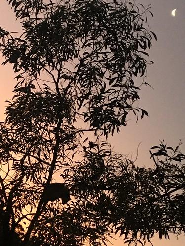 Possum at sunset