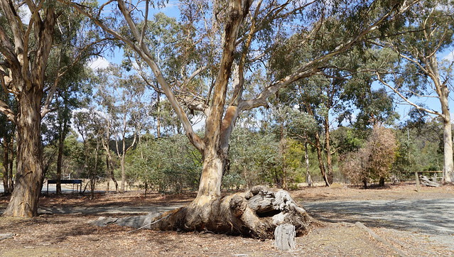 Great old surviving gumtree in Bruce