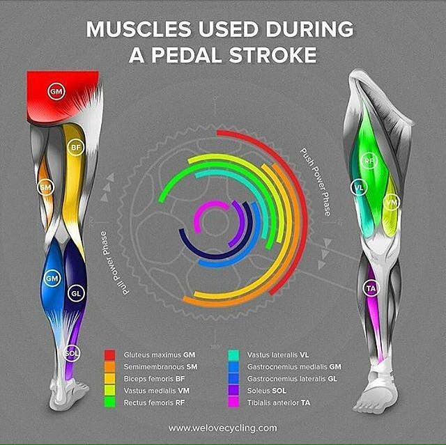 muscles-used-in-pedal-stroke