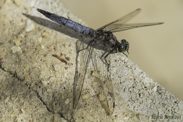 Orthetrum cancellatum. Adult male.