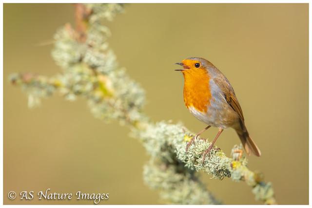 Robin Winter Song