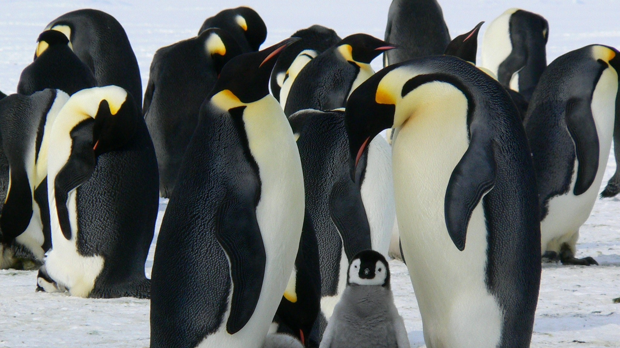 Emperor penguins gathered in a huddle