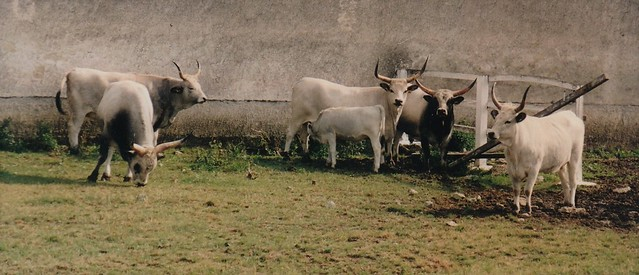 Bœufs gris de Hongrie, Parc national de Hortobágy, comitat de Hajdú-Bihar, Hongrie.