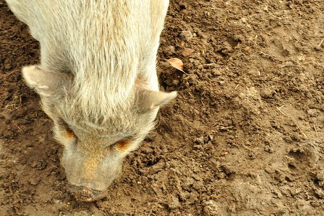 Januar 2020 ... Winterruhe im Tierpark Walldorf ... Mini-Schwein ... Brigitte Stolle